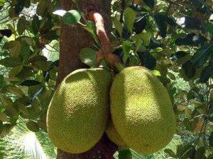 jack-fruit-tree